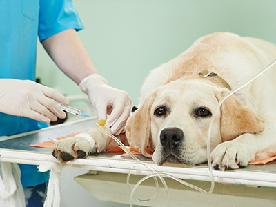 veterinary giving the vaccine to the ivory labrador dog in clinic