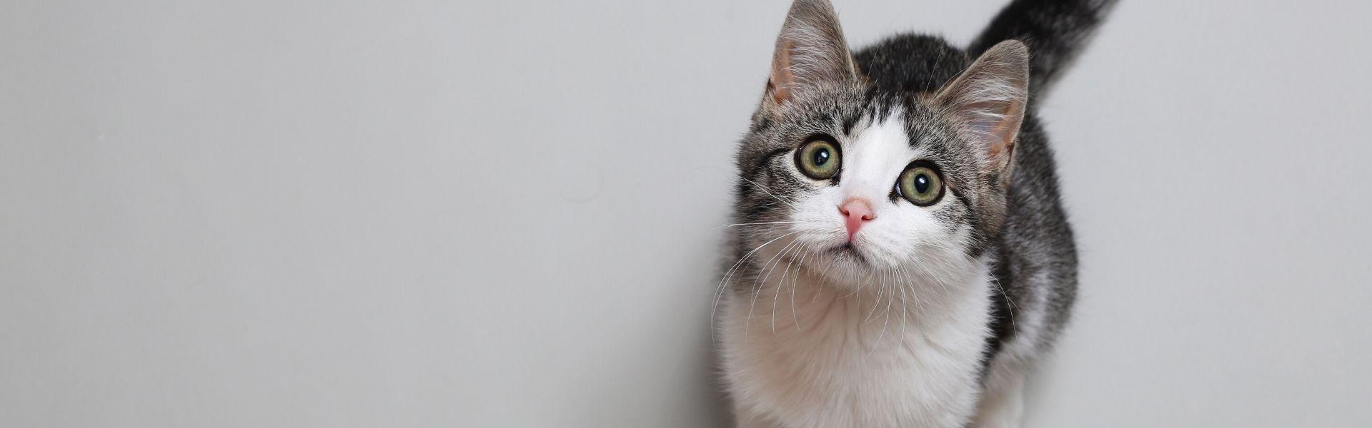 feline-circulatory-shock-podcast