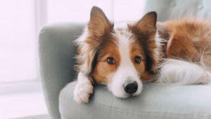 Corticosteroid Insufficiency Dogs