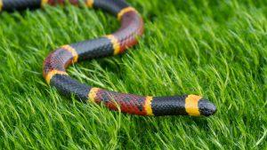 snakebit-coral-snake